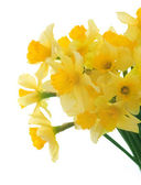 Beautiful Daffodils Over White — Stock Photo
