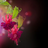 Fuchsia flowers. Abstract Floral Background — Stock Photo