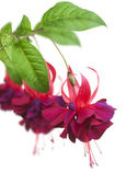 Fuchsia Flowers Over White — Stock Photo
