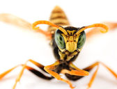 Wasp Portrait — Stock Photo