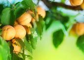 Growing Apricot — Stock Photo