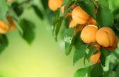 Apricot Frame — Stock Photo