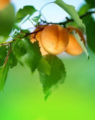 Ripe Apricots On A Tree Branch — Stock Photo