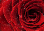 Beautiful Red Rose — Stockfoto