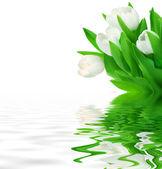 Fresh White Tulips — Foto Stock