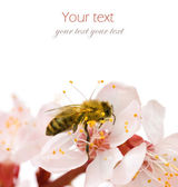 Bee On A flower. Studio Isolated — Stock Photo