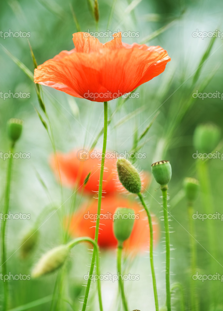 Poppies. Shallow DOF — Stock Photo #10676484