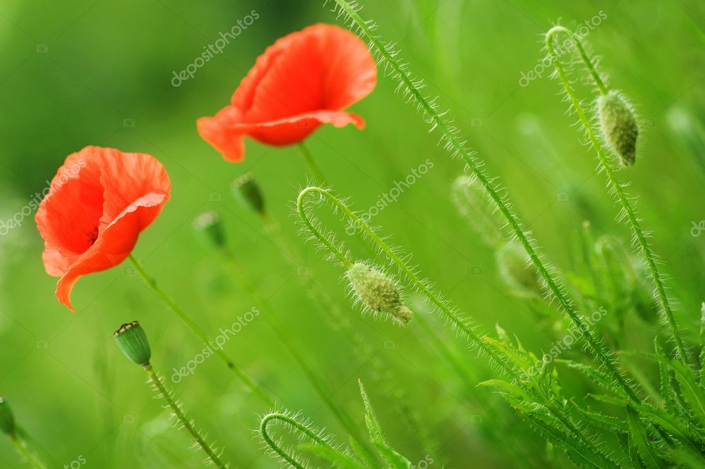 Beautiful Poppies — Stock Photo #10676501