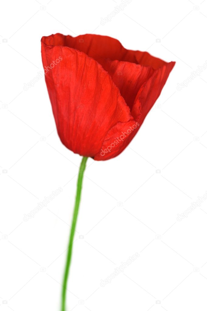 Poppy Over White — Stock Photo #10676512