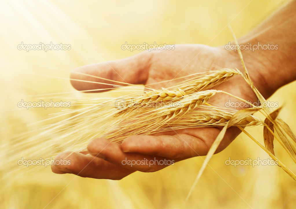 Wheat Ears In The Hand. Harvest Concept — Foto Stock #10677456