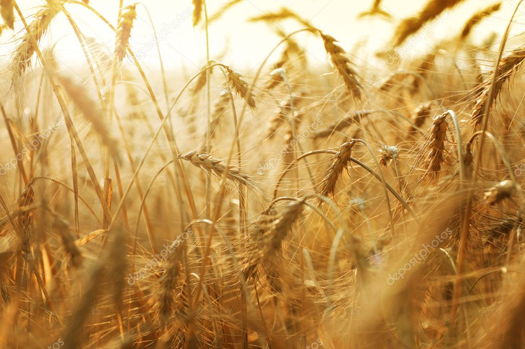 Golden Wheat Field — Stok fotoğraf #10679457