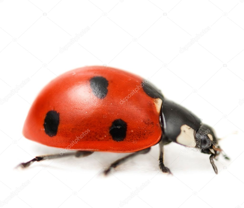 Supermacro Of Ladybug. Studio Isolated  Stock Photo #10679714