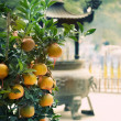 Growing Ripe Mandarin - Stock Photo