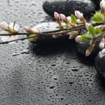 Wet Zen Spa Stones And Sakura Blossom — Stock Photo