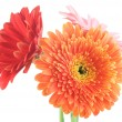 Royalty-Free Stock Photo: Gerbera Daisies Isolated On White