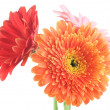 Gerbera Daisies Isolated On White - Stock Photo