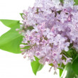 Beautiful Lilac Flowers Over White — Stockfoto