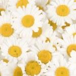 Beautiful Chamomiles Background — Stock Photo