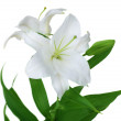 Beautiful White Lily Isolated — Stock Photo #10681216