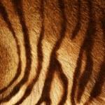 Tiger Texture — Stock Photo
