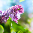 Stock Photo: Beautiful Lilac Flower