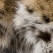 Lynx Fur Background - Stock Photo