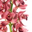 Beautiful Orchid Over White — Stock Photo