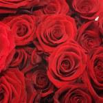 Roses Over White — Stock Photo