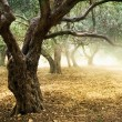 Old Olive Trees - Stockfoto