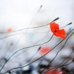 Abstract Poppies. Shallow DOF — Stock Photo