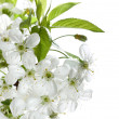 Spring Cherry Blossom Over White — Stock Photo