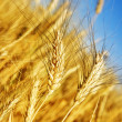 Wheat — Stock Photo #10683994