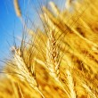 Wheat — Foto de stock #10683997