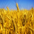 Wheat — Stock Photo #10684005