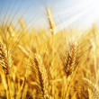 Foto Stock: Wheat
