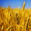 Wheat — Stock Photo #10684010
