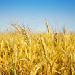 wheat — Stock Photo #10684015