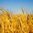 Wheat — Stock Photo #10684018