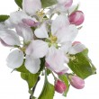 Closeup Of Apple Blossoms — 图库照片