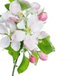 Постер, плакат: Spring Apple Blossom Over White