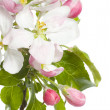 Apple Blossom Isolated Over White — Stock Photo