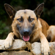 Dog. German Shepherd — Stok fotoğraf