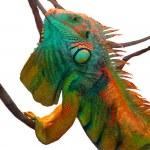 Iguana — Stock Photo #10684242