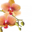 Orchid Over White — Stock Photo