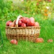 Fresh Organic Apples in the Basket - Stock Photo