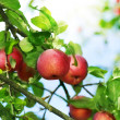 Fresh Organic Apples — Stock Photo #10684518