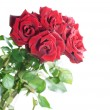 Beautiful red Roses over white — Stock Photo