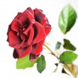 Beautiful Red Rose over white — Stock Photo