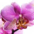 Beautiful Orchid Closeup — Stock Photo