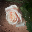 Wet Rose - Stockfoto
